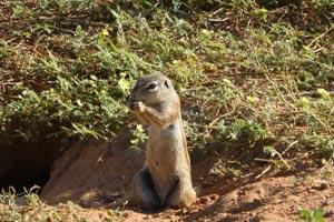 Erdhörnchen in der Kalahari