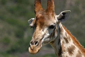Giraffe im Krüger Park