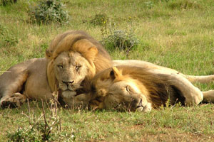 Löwen im Krüger Park
