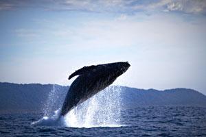 Walbeobachtung bei Hermanus